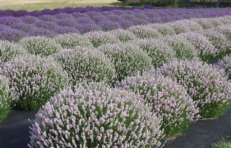 lavender plants archives victor s lavender sequim washington victor s lavender sequim
