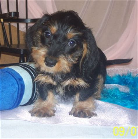 dachshund puppies for sale nc dachshund puppies for sale nc photo