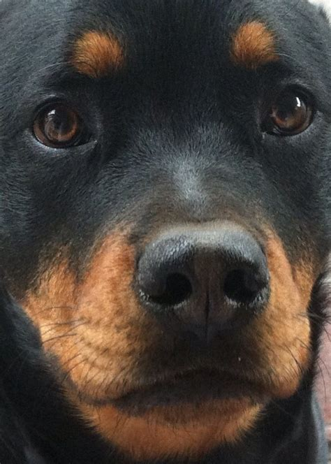 rottweiler in car 1000 images about rottweilers on puppy best dogs and puppys