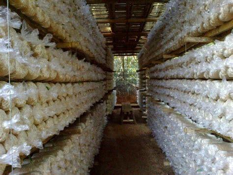 Gambar Bibit Jamur Tiram Putih cara budidaya jamur tiram putih dengan baik dan