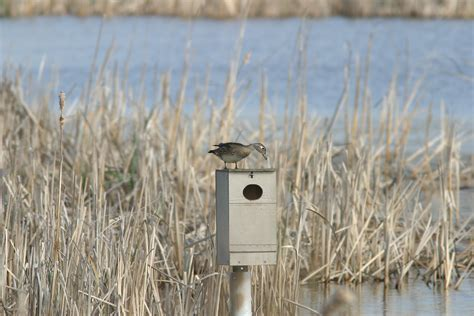 wood duck house ohio bird photo collection wood duck female quot on nest box quot