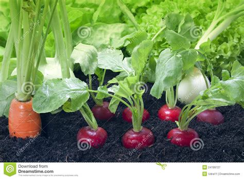 Vegetables In A Garden Vegetables And Garden Royalty Free Stock Photography