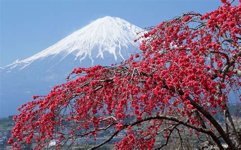 snowy blossoms holiday pick set cherry tree peak snow fuji nature