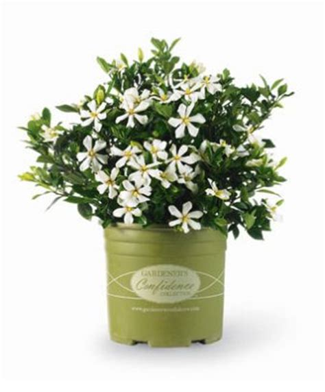pinwheel gardenia gardenia jasminoides pinwheel