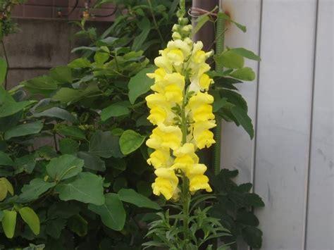 fiori bocche di bocche di anthirrinum majus anthirrinum majus