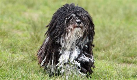 havanese behavior havanese