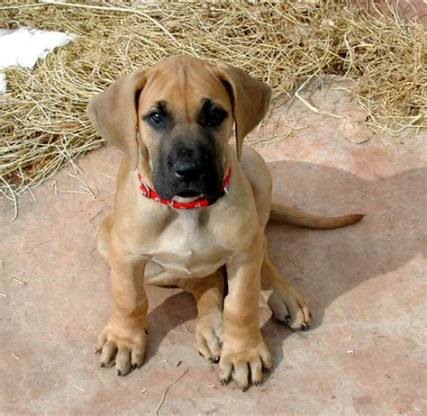 great dane puppies wisconsin file oola the great dane puppy jpg wikimedia commons