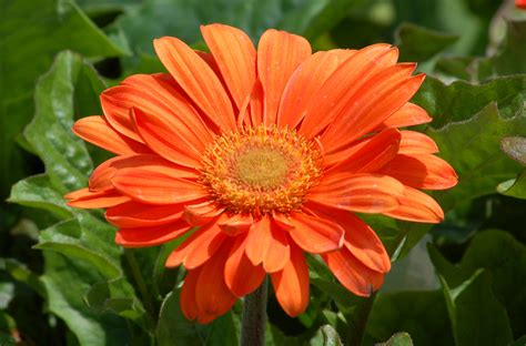 Native House Design by Gerbera Daisy Flowers Tender Perennial In Many Colors