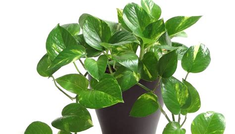 piante interne golden pothos plants for help you to you sleep linkedin