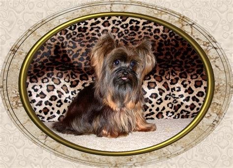 velvet touch yorkies teacup yorkie velvet touch marina breeds picture