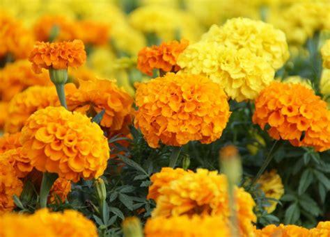 menanam dan budidaya bunga marigold bunga gemitir