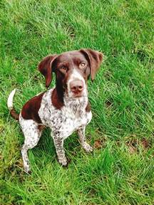 anyone experience raising a german shorthaired