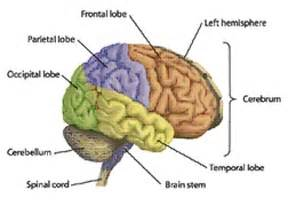 anatomy of the brain part 1 healthy living pinterest