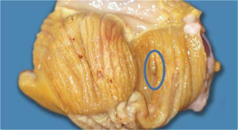 proventriculus  gizzard kesehatan unggas