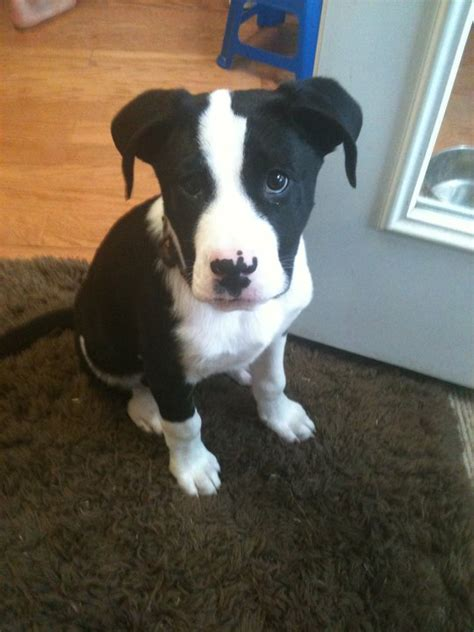 pitbull border collie mix puppies clark a border collie american pit bull terrier mix allmutt