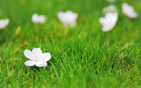 wallpaper flower view flower flower flower white grass green background flower