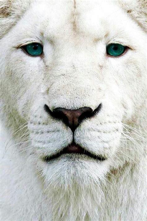 imagenes de leones tumblr le 243 n blanco no un albino debido a los ojos azules