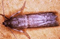 Are Pantry Moths Dangerous To Eat by Fibroconfessions Pantry Moths Prevention And How To Deal