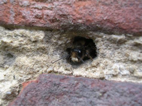 masonry bee in brick walls bees bricks and mason bees