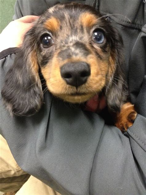 dachshund colors 1000 ideas about dapple dachshund on