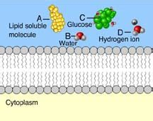 selective permeability  membranes mastering biology quiz