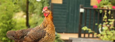 benefits of backyard chickens the many benefits of backyard chickens green america