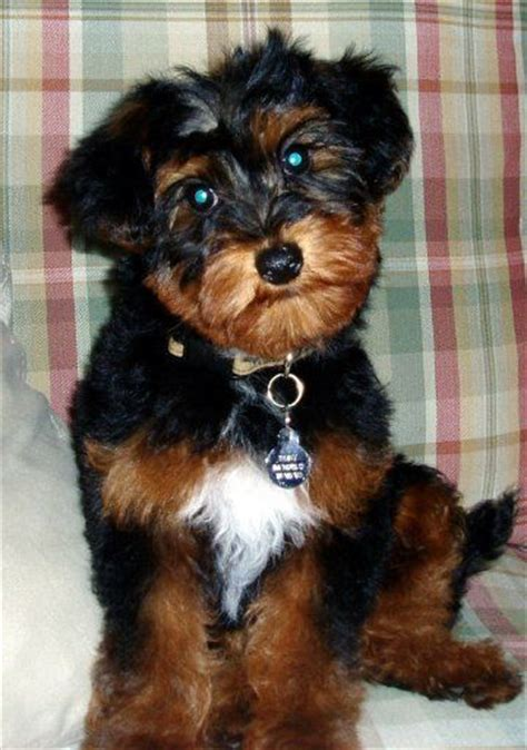 king charles yorkie mix 21 best images about cross breeds dogs on poodles puppys and yorkie