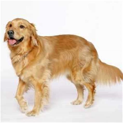 why are golden retrievers called golden retrievers golden retriever by thinglink