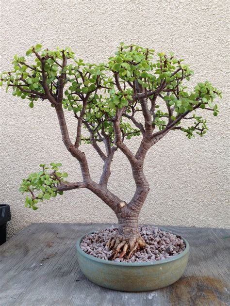 here s a thought bonsai here s my elephant s food portulacaria afra bonsai that i ve been for the last 8 9