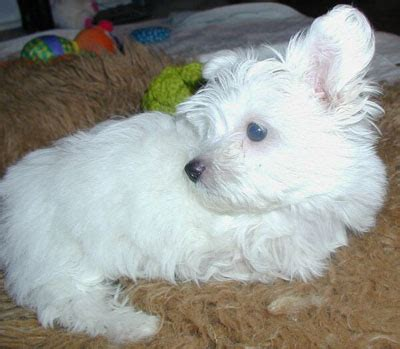 southern comfort maltese rescue southern comfort maltese rescue hope s story