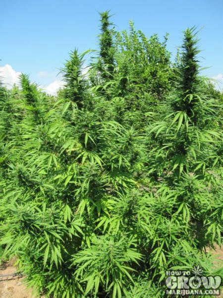 outdoor cannabis seeds   climate outdoor