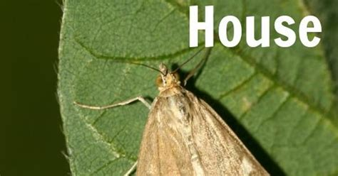 How To Keep Moths Out Of Pantry by 6 Ways To Keep Miller Moths Out Of Your House Moth