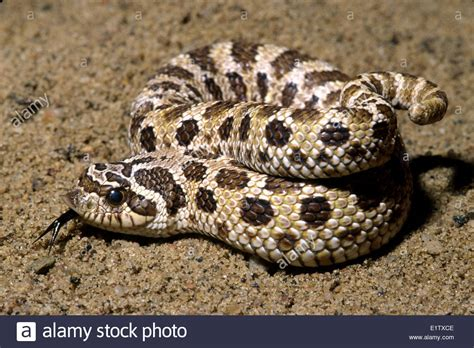 Western Hognose Snake Pictures