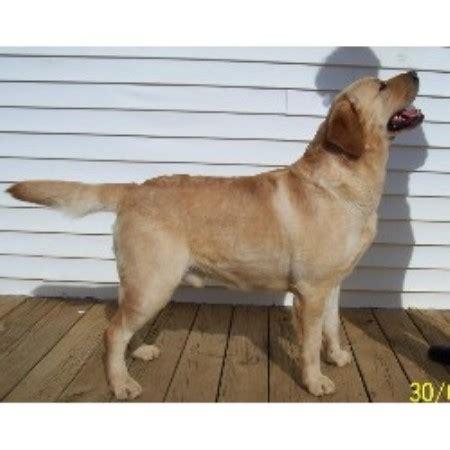 breeders in nj labrador retriever lab breeders in new jersey freedoglistings breeds picture