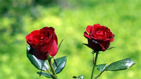 wallpaper bunga merah info lengkap mengenai bunga mawar selingkaran com