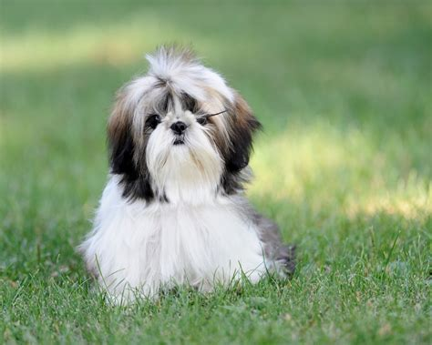 shih tzu around shih tzu