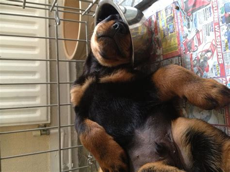 puppy rottweilers for sale pedigree rottweiler puppies for sale sittingbourne kent pets4homes