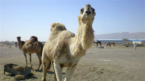 how can a go without water how can a camel go without water