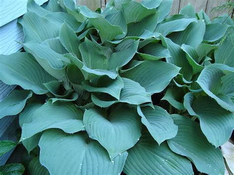 tips for growing hosta plants hosta plant care