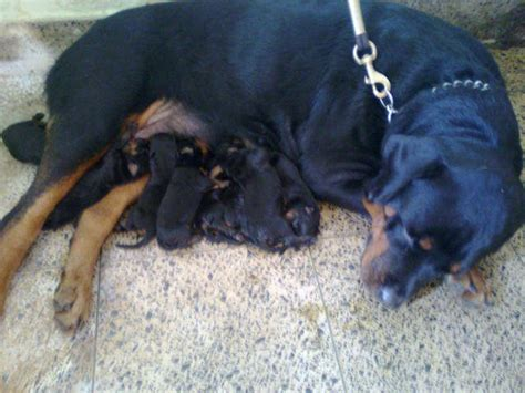 rottweiler puppies for free adoption in india rottweiler pups for sale in kerala calicut 9846133003 for sale adoption from kozhikode