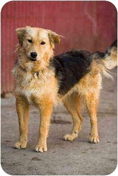 golden retriever airedale mix puppies clarabelle adopted portland or golden retriever airedale terrier mix