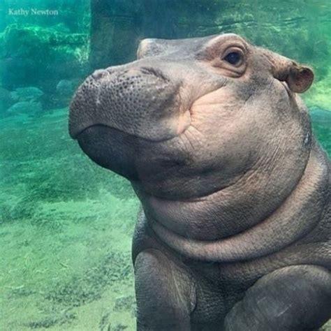 si鑒e social hippopotamus saving fiona fiona hippo baby book review