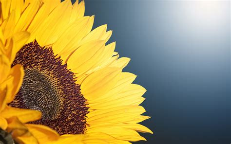 sunflower  wallpapers hd wallpapers id