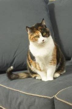 remove cat dander from couch 1000 ideas about cat allergy relief on pinterest cat