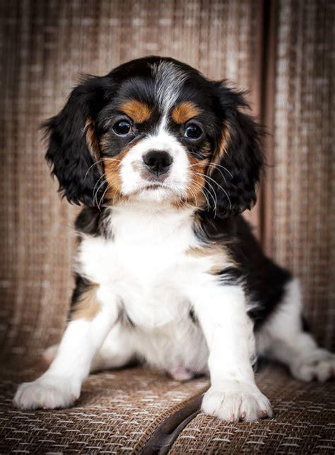 charles cavalier puppy phoenixcavaliers puppies for sale phoenixcavaliers