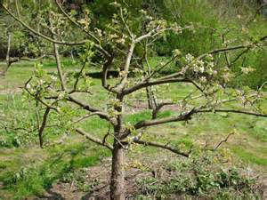 pruning fruit tree fruiting cherry tree pruning images