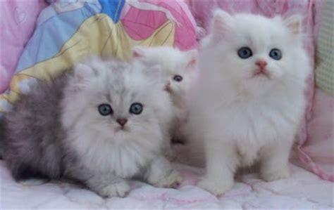 Kucing Umur 2 Bulan Cara Merawat Kitten Usia 1bulanspf1 Maniakucing