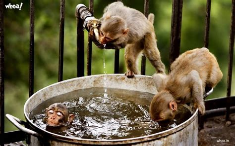 monkey bath and water