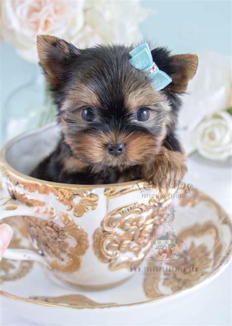 brown yorkie puppies for sale brown teacup yorkie puppies www pixshark images galleries with a bite