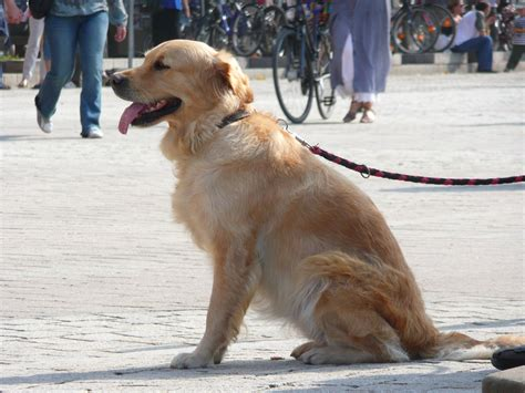 norcal golden retriever breeders golden retriever 3 breeds picture